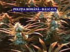 Cea mai mare plantatie de cannabis din Romania